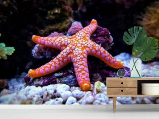 Fromia seastar in coral reef aquarium tank is one of the most amazing living decorations