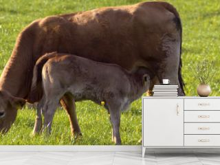 Grazing cow with suckling calf