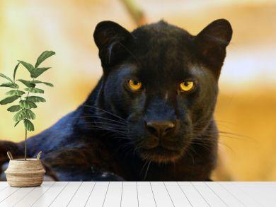 The leopard (Panthera pardus) portrait. Melanistic leopards are also called black panthers.