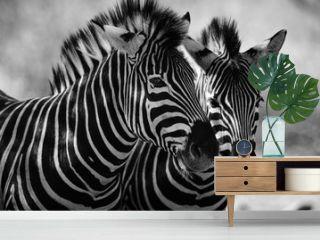 close up of zebra