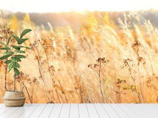autumn nature background with dry grass. Golden autumn field. wild fluffy grass in sunlight. Beautiful tranquil landscape scene. banner
