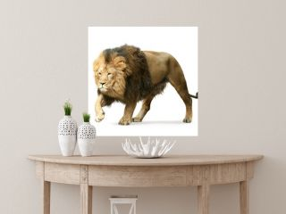 asian lion isolated on white