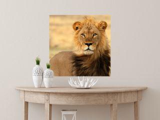 Black mane lion